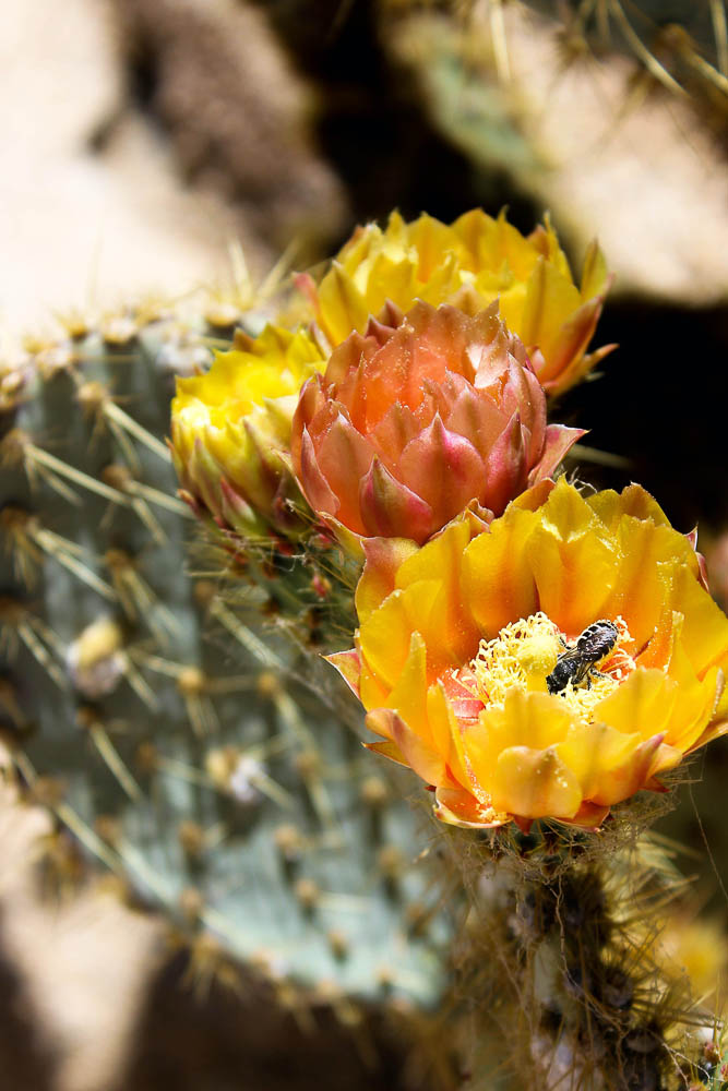 Bee landing on cactus flower